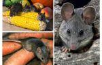 Cum să se ocupe de șoareci în țară și pe site