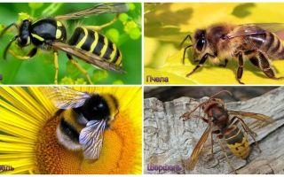 Care este diferența dintre viespi, albine, albine, viespi