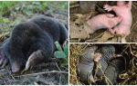 Descrierea și fotografii ale molilor nou-născuți