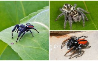 Jumping Spiders (Jumping Spiders)