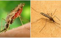 Ce arată tantarii de malarie și cât de periculoși sunt pentru oameni