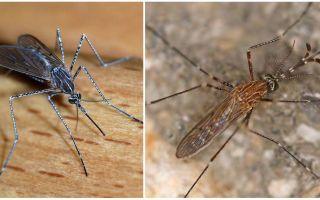 Descriere și fotografii ale speciilor de țânțari