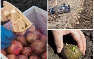 Înainte de a planta procesul, cartofii de la gândacul de cartofi Colorado și firworm