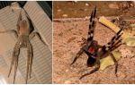 Brazilian rătăcitor păianjen (alergător, rătăcitor, soldat)