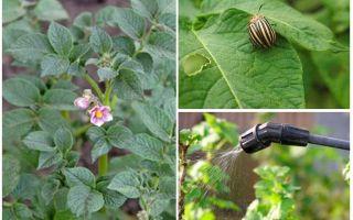 Este posibil să procesăm cartofi din gândaci Colorado în timpul înfloririi