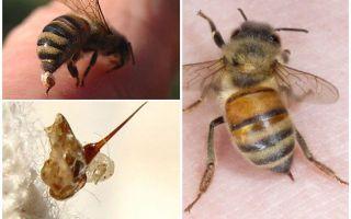 Vânatul de albine și viespea