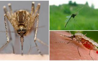 Cum văd țânțarii și ce le atrage la o persoană