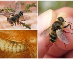 Care este gadfly-ul, stilul de viață