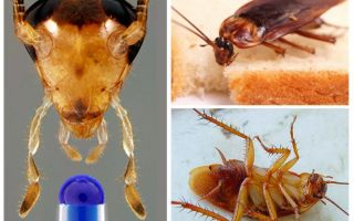 Speranța de viață a gândacului domestic