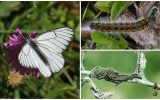 Descriere și fotografie a omului și fluture Hawthorn cum să lupte