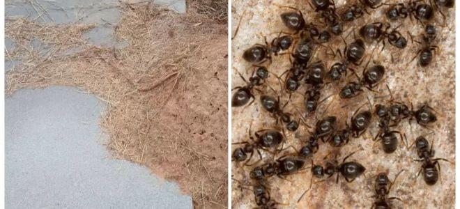 Cum să scapi de furnici pe mormânt