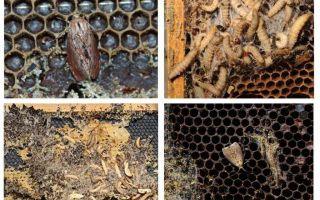 Metode de tratare a moliei de ceară
