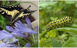 Întorcând o omidă într-un fluture