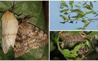 Descrierea și fotografia osoasă a molii țigănești