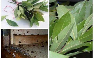 Cum se folosește frunza de dafin împotriva gândacilor