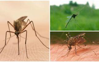 Informații interesante despre țânțari