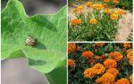 Cum să protejeze și să protejeze vinetele de la gândacul de cartof Colorado