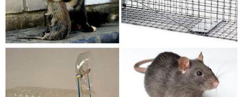 Cum să scoateți șobolanii dintr-o casă privată