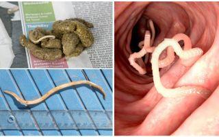 Cum arată viermii rotunzi în fecalele umane?