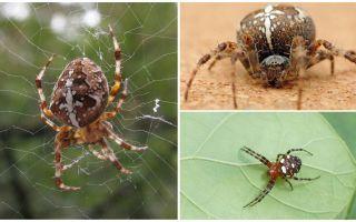 Crusader Spider Descriere și fotografii