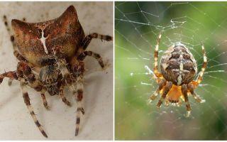 Spider jog: fotografie și efecte după o mușcă