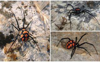 Descriere și fotografii ale paianjenilor din Kazahstan