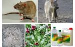 Cum să eliminați șobolanii din remediile populare din hambar
