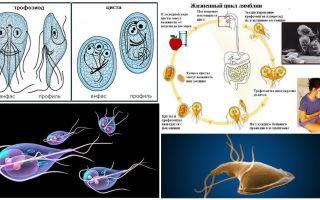 Ciclul de viață al Giardia și tratamentul chisturilor