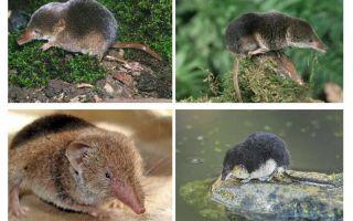Șarpele mouse-ului