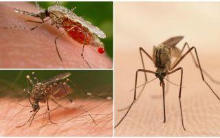 Câți țânțari trebuie să beți tot sângele
