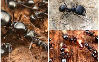 Furnicile de furnici