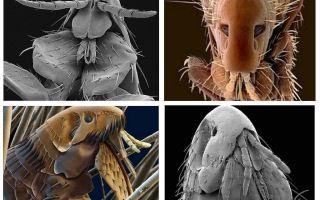 Ce purici arătau în fotografie: soiurile și trăsăturile lor structurale