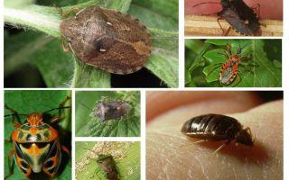 Bugs zboară sau nu