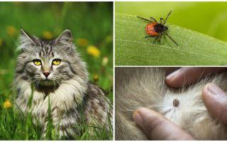 Ce trebuie să faceți și cum să tratați o bifă într-o pisică sau o pisică