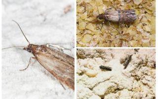 De ce și ce să facă, dacă moliile au început în cereale