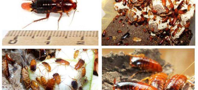 Caracteristici de reproducere a gândacilor Turkmen
