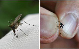 Cum să reproducem și cât de mulți țânțari trăiesc