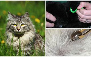Cum să eliminați o bifați de la o pisică sau o pisică