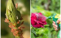 Revizuirea celor mai bune medicamente pentru aphid