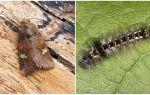 Descrierea și fotografia fluturilor și a omizi scapă cum să lupte
