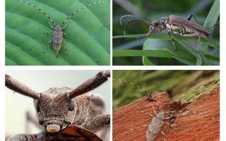 Beetle margele gri cu nas lung