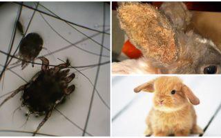 Tratamentul acarianului la iepuri