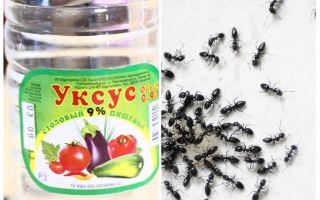 Oțet împotriva furnicilor din grădină