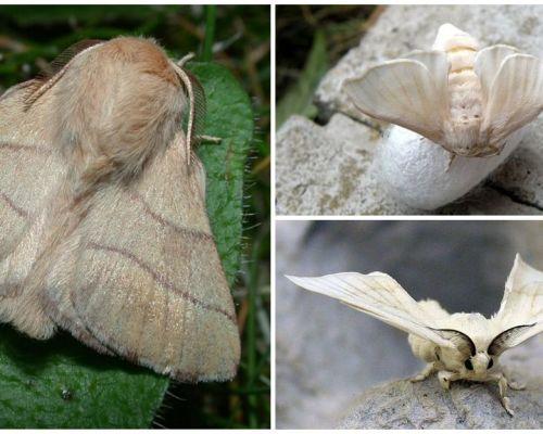 Descriere și fotografie de omidă și fluture de viermi de mătase