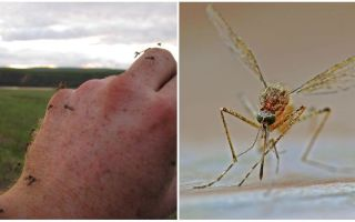 În ce țări și orașe nu există țânțari
