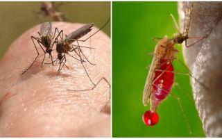 De câte ori poate o muscatura de țânțari