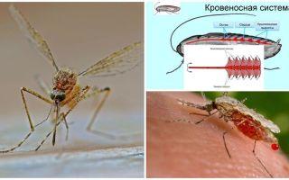 Informații interesante despre structura țânțarilor