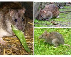 Cum arată șobolanii?