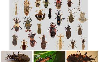 Bedbugs vectori de orice boli