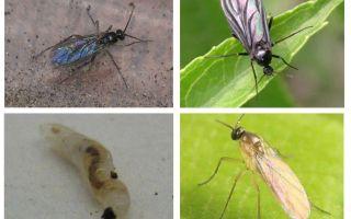 Cum să scapi de muștele negre în plante și ghivece de flori